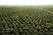 Greenpeace culture palmier huile de palme