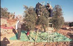 cueillette d'olive en territoire palestinien occupé
